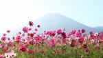 生駒高原のコスモス(フルHD1920x1080ワイド壁紙)
